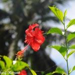 Mentawai Flower